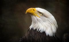 Portrait of a Bald Eagle (Tracy Munson Photography) Tags: bird birds animal animals eagle wildlife baldeagle raptor eagles raptors birdsofprey wildbird