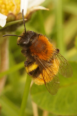 Andrena fulva, female (henk.wallays) Tags: