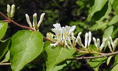 Honeysuckle (carpingdiem) Tags: plant spring indianapolis honeysuckle