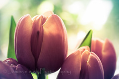 Nikon d5300 macro (Jasrmcf) Tags: pink flowers shadow blur flower macro beautiful contrast photo nikon dof tulips bokeh smooth tulip bokehlicious d5300