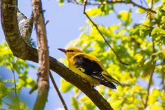 Oriolus oriolus (Ferruxe65) Tags: naturaleza nature birds aves galicia rivers fields forests pontevedra campos tenorio bosques paxaros goldenoriole cotobade riolrez oropndola canoneos7d ouriolo tamron150600