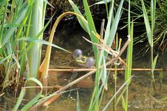 Kwaak (2) (HOMCN) Tags: water amsterdam duck nest gras schiphol raaf eend vogel kikker hoen kraai fuut waterhoen kwaak waterkip sloor roek