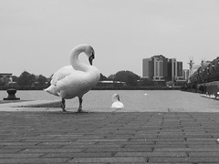Lovely meeting at the Lowry gallery in Manchester today (lovemaus) Tags: bird manchester swan salfordquays salford