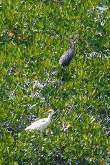 B36C4424 (WolfeMcKeel) Tags: vacation white bird birds keys spring bush key florida wildlife wing ibis cormorant frigate largo 2016 floridakeys2016vacationspring