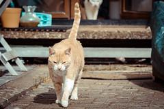 Stanley (No_Water) Tags: red white cat de deutschland ginger tabby tiger stanley katze badenwrttemberg ebersbachanderfils