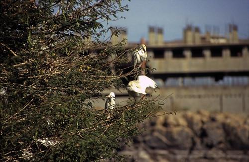 "Ägypten 1999 (069) Assuan: Kuhreiher, Elnabatat's Island • <a style=""font-size:0.8em;"" href=""http://www.flickr.com/photos/69570948@N04/26894094260/"" target=""_blank"">View on Flickr</a>"