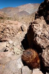 Neoporteria eriosyzoides (Umadeave) Tags: chile cactus montagne plante flora chili desert atacama flore eriosyce neoporteria kunzei eriosyzoides