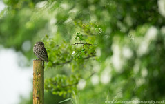 Little Owl (Alastair Marsh Photography) Tags: bird birds animal animals spring wildlife yorkshire feathers feather owl britishwildlife owls birdsofprey birdofprey springtime littleowl britishbirds britishbird littleowls britishanimals yorkshirewildlife britishanimal animalsintheirlandscape