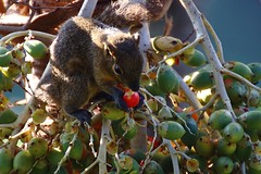 Hand Picked Fruit (168tos) Tags: bali animal fruit indonesia squirrel ripe