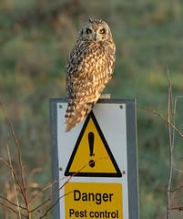 Danger! Pest Control (KHR Images) Tags: wild owl perched cambridgeshire seo rspb shortearedowl asioflammeus fendraytonlakes