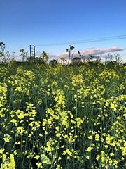 365Project - day 145/366 (jenwuk) Tags: blue sky field yellow pylon 365 365project linseedoilrape