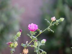 cool pink mallow on a hot june day (Az~Kate) Tags: pink summer arizona desert mallow coolcolors gettinghot