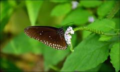 Wildlands vlindertuin (Astrid1949) Tags: mei emmen 2016 vlindertuin wildlands