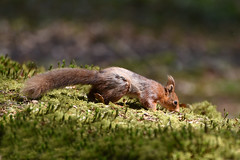 On the Prowl  - Red Squirrel (DaisyDeeM) Tags: ireland red nature animal mammal squirrel outdoor redsquirrel