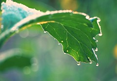 morning (eriko_jpn) Tags: droplets morningdew greenleaf