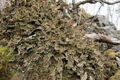 Tree lungwort - lobaria pulmonaria (Michael Pitt Photography) Tags: tree lichen pulmonaria lungwort loaria