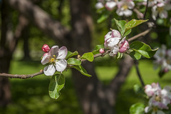 Blossom Apple Tree (AudioClassic) Tags: park new pink plant flower tree apple nature colors closeup fruit season cherry outdoors leaf spring flora tallinn estonia branch purple blossom gardening softness grown freshness springtime elegance newlife flowerhead