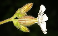 White Campion 060616 (5) (Richard Collier - Wildlife and Travel Photography) Tags: flowers white macro flora naturalhistory wildflowers campion macroonblack flowersenglishflowers