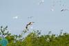 Western Marsh-Harrier (Circus aeruginosus)