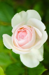 Rosa Blanca - Volna-3 (Julin Martn Jimeno) Tags: parque espaa rose mediumformat flora nikon bokeh rosa asturias soviet isabel kiev gijon lentes lenses kiev88 analogic 2016 isabellacatolica volna volna3 oldlenses sovieticas d7000 lentessovieticas