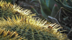 Spiny Poufs (Theen ...) Tags: adelaide botanicgardens cactii cactus edge fluffy green lumix round spherical spiny theen yellow spines