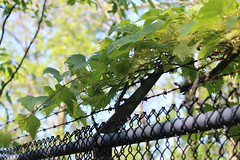 Vines (cori573) Tags: fence wire vines woods barbed chainlikned