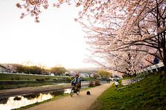 Play in the sunshine (Kyoto) (Marser) Tags: xt10 fuji raw lightroom japan kyoto kamogawa river cherry cherryblossom sakura dusk flower people