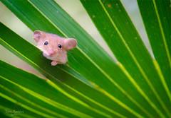 Mouse in my plot (thedaner) Tags: life wild cute animal forest mouse golden rodent woods nikon florida wildlife fieldwork palmetto rodentia nuttalli serenoarepens goldenmouse ochrotomysnuttalli ochrotomys