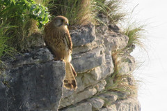 (Rodents rule) Tags: cliff bird female scotland highlands kestrel birdofprey eigg falcotinnunculus