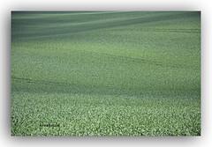 Getreidefeld (K.Rahn) Tags: spur herbst landwirtschaft natur feld spuren wiese business bauer land grn landschaft arbeit saat geschft korn frhling acker boden frisch zart frhjahr getreide reihe landwirt kologie pflnzchen ackerbau bestellt furche furchen sprsslinge fotorahmen wintergetreide kologisch aussaat ackerfurchen ackerboden ackerflche eingest ackerkrume beackern bebauen saatflche