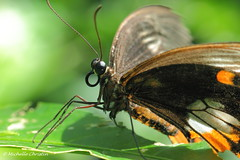 Butterfly (Michelle Christin) Tags: macro nature animal canon butterfly natur papillon makro insekt tier schmetterling mainau 60d edelfalter