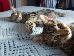 Masai & Mara ! (Mara 1) Tags: blue cats pets black animals fur grey bed faces stripes coat tabby kittens indoors fawn blanket