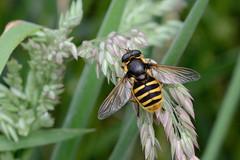 Hoverfly Sericomyia silentis Upton NWT (JohnMannPhoto) Tags: upton nwt hoverfly wasp mimic insect