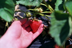 lovely berry (kstetner) Tags: old blue ohio summer chimney sky flower building dusty june fruit forest vintage butterfly cicada wagon flying wire strawberry long candle berries shadows floor path bricks wave books case meat trail type fields medina writer buckets antiques rib patch root hiding outlet picking cookoff berea