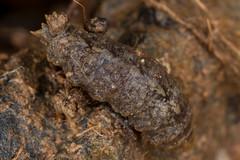 Maybe another maggot (zosterops) Tags: australia tasmania castra canoneos6d canonmacrolensmpe65 macro insecta diptera maggot