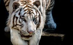 . Grisonnant, yeux turquoises, allure fline (Coeur tranger) Tags: tigreblanc whitetiger flin felino animal carnvoro mamfero portrait