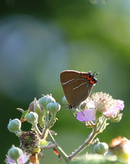 WHITE LETTER HAIRSTREAK (Bradders62) Tags: whiteletterhairstreak canoneos7d alnersgorse dorset southwest butterflies butterfly insects nature wildlife sigma hairstreak