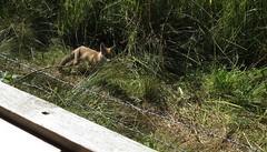 3477 Foxy rascal (Andy panomaniacanonymous) Tags: 20160816 fff fox kent mammal mmm vulpesvulpes vvv