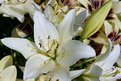 White Lily. (Svitlana Clover) Tags: lily white macro flowers summer flowerbed bud yellow pestle stamens sonynex6