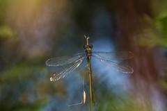 Clair-obscur de libellule (**Jeannie) Tags: couleurs canon6d 100mmf28 libellules macro