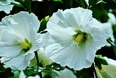 Gartenhibiskus weiß (silkebahr) Tags: garten hibiscus zierstrauch blüten pflanzen natur outdoor flower sommer sonne licht