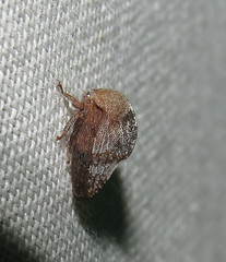 Treehopper (Bug Eric) Tags: animals wildlife nature outdoors insects bugs truebugs auchenorrhyncha hemiptera hereford arizona usa treehoppers membracidae treehopper northamerica july252016