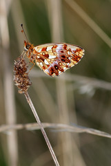Butterfly (The Ramandolo Man) Tags: macro butterfly nikon nikkor 105mm 105vr nikkor105mmf28gvrmicro italy summer udine farfalla fujifilm fuji s5pro