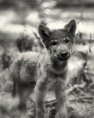 Wolf Puppy - Wolfswelpe (W_von_S) Tags: wolfpuppy wolfswelpe wolf welpe wild wildtier tier animal bavaria bayern wildpark poing wvons werner sony alpha7rm2 outdoor natur nature sw schwarzweis bw blackwhite monochrom monochrome einfarbig