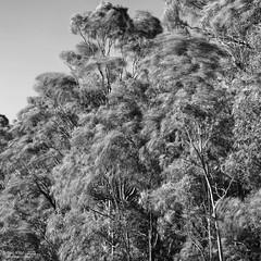 Wind swirl (OzzRod) Tags: trees monochrome square movement wind pentax swirl smcpentax50mmf12 k5iis