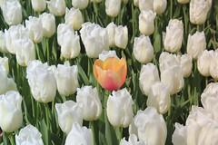 _MG_4445 (gkimirti) Tags: flower tulip 2015 emirgan laleler