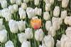 _MG_4445 (Gökmen Kımırtı) Tags: flower tulip 2015 emirgan laleler