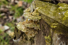 Flatemate (scuthography) Tags: tree green mushroom easter photo foto awesome fungus 2015 flatemate carrageen flickrglobal kathrinschild