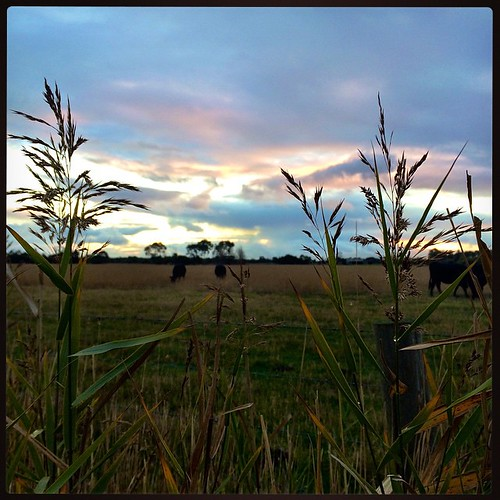 107/365 • sun down • #107_2015 #blindbight #cows #grasses #sky #clouds #light #stormyweather #dirtroad #sunset #autumn2015