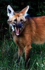 Open Wide (Sophie Choate) Tags: mouth germany fur zoo fox wilhelma wilhelmazoo